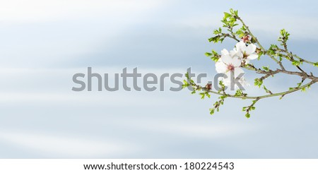 Spring blooming almond tree against blue sky with free place for text - stock photo