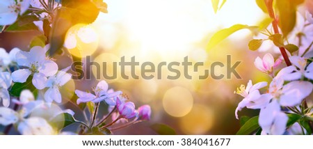 Spring Blooming background;  White Blossoms And Sunlight In The Sky  - stock photo