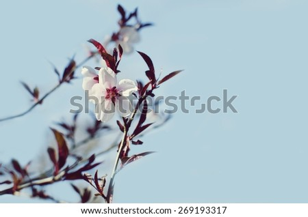Spring blooming cherry flower against blue sky - stock photo