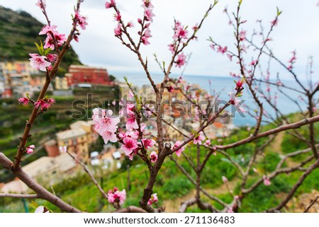 Spring blooming cherry tree with background scenic view of colorful houses of Manarola village, Cinque Terre, Italy - stock photo
