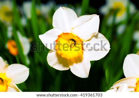 Spring blooming narcissuses, selective focus. Narcissus L.  Narcissus flower yellow, white.  Daffodils white yellow. - stock photo