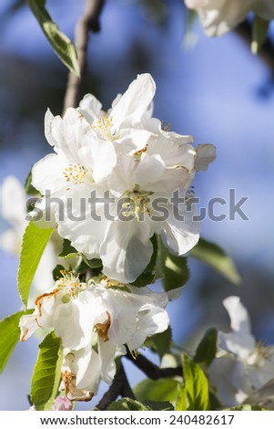 Spring blooming on apple tree branches  - stock photo