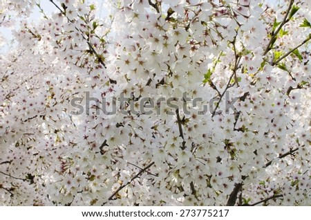 Spring blooming white flowers background - stock photo