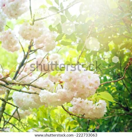 Spring blossom - stock photo