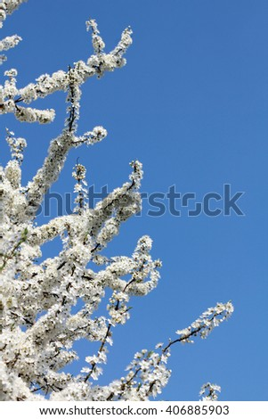 Spring blossom background apricot flowers selective focus - stock photo