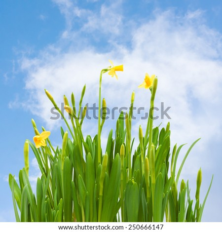 spring blossom daffodil flowers buds blue sky background - stock photo