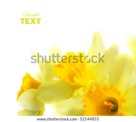 spring blossom daffodil isolated on white background - stock photo
