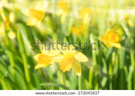 Spring blossom narcissus daffodils vivid yellow sunlit flowers with sunbeams and rays on blurred bokeh background. Filtered and toned stock photo with selective soft focus and shallow DOF. - stock photo