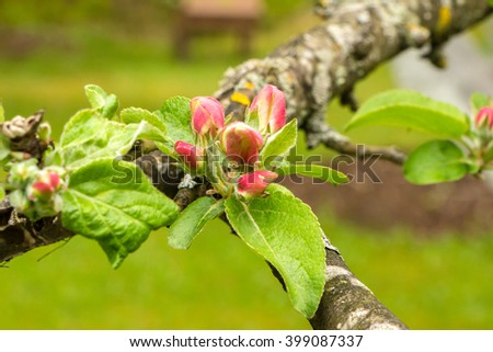 Spring blossom on apple tree with grass in green background. Big bud with of apple tree with red pink petals and big leaves on The thick branch. Beginning of Blossoming apple tree in spring, may.  - stock photo