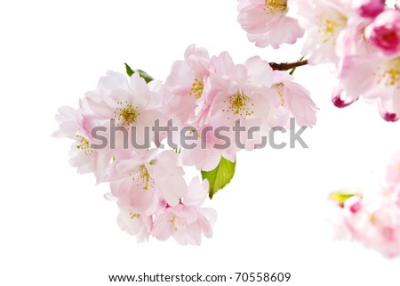 Spring blossom on white background - stock photo