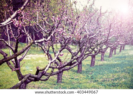 Spring Blossom trees in sunlight  - stock photo