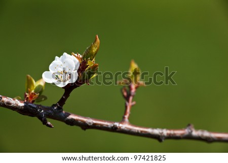 Spring - blossoming apple tree against lovely green background - stock photo