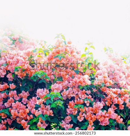 Spring Blossoming Bush with Pink Flowers. Nature background - stock photo