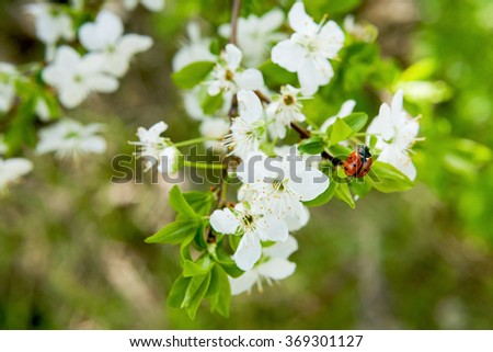 Spring blossoming of an apple-tree. Spring blossoming of cherry. The blossoming apple-tree. The blossoming cherry. The blossoming apricot. Ladybug on the  blossoming spring branch. - stock photo