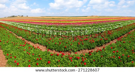 Spring blossoming of magnificent garden buttercups. Panoramic landscape - stock photo