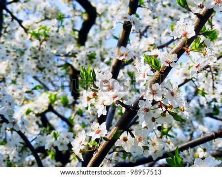 Spring blossoming tree - stock photo
