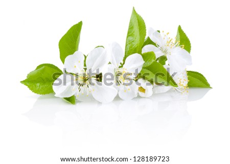 Spring Blossoms of fruit trees Isolated on white background - stock photo