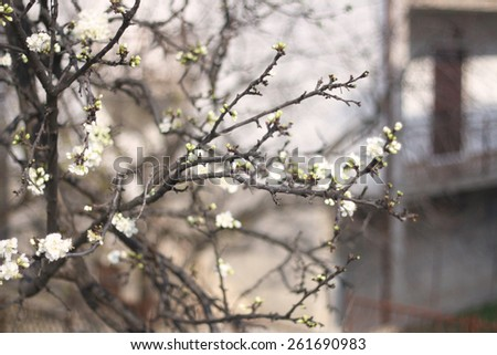 Spring blossoms on the tree. Selective focus. - stock photo