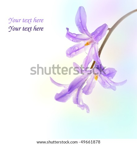 spring blue bells - scilla flower on colored background - stock photo