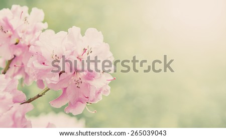 Spring border background with rhododendron flowers, colorised image with sun flare - stock photo
