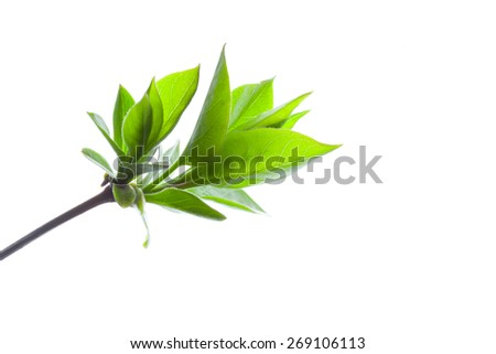 Spring branch of a Tree, Isolated on White Background - stock photo