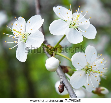 Spring branch of cherry-tree - stock photo