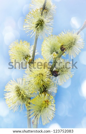 spring branch of willow with catkins and light bokeh - stock photo