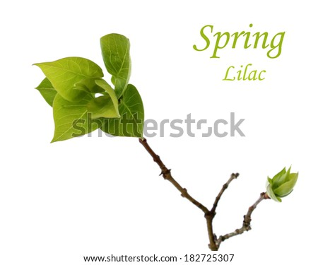 spring branch with green leafs of lilac isolated on white background - stock photo