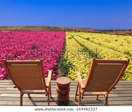 Spring buttercups grow multi-colored strips. Two chaise lounges for rest stand on a scaffold at a picturesque flower field - stock photo