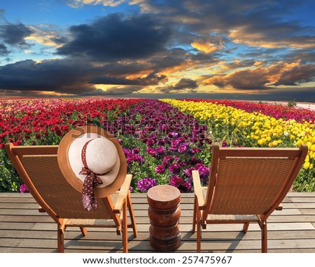 Spring buttercups - ranunculus Bloomingdale - grow multi-colored strips. Two chaise lounges for rest stand on a scaffold at a picturesque flower field. On one chaise lounge the elegant straw hat hangs - stock photo