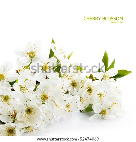 Spring cherry blossom - stock photo
