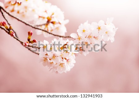 Spring Cherry blossom (Somei-Yoshino) with beautiful sepia pink background. - stock photo