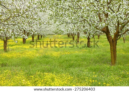 Spring cherry blossom trees in green field - stock photo