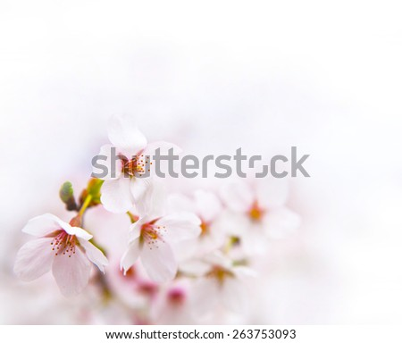 Spring cherry blossom with near white background. - stock photo