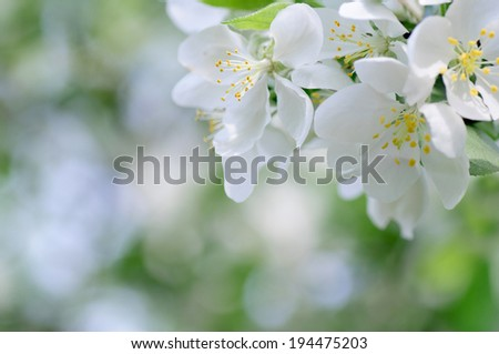 Spring cherry blossom with soft background. - stock photo