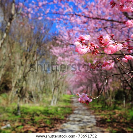 spring cherry blossoms along the pathway - stock photo