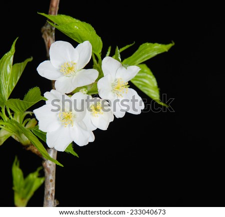Spring Cherry blossoms in full bloom-black background - stock photo