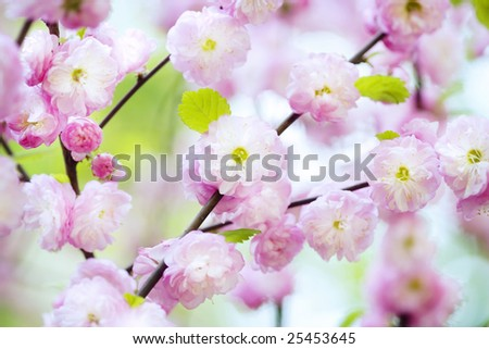 Spring cherry blossoms in natural background - stock photo