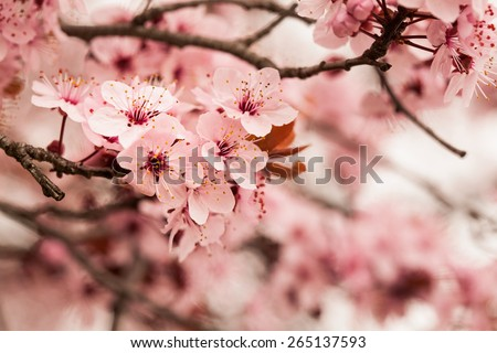 Spring cherry blossoms on pink and blue background - stock photo