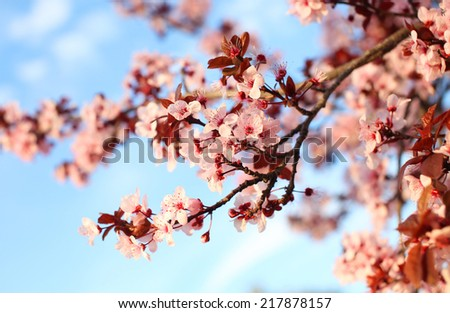 Spring Cherry blossoms over blue sky background - stock photo