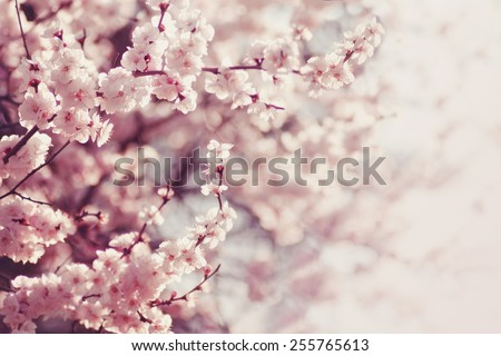 Spring Cherry blossoms, pink flowers. - stock photo