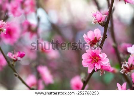 Spring cherry flower - stock photo