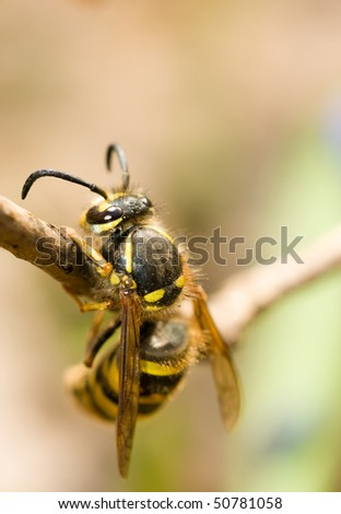 Spring. Closeup of Wasp on thin branch (shallow Dof) - stock photo