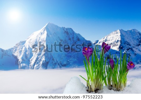 Spring crocus flowers in snow - in background snowy mountains - stock photo