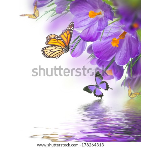 Spring crocuses with butterfly, floral background - stock photo