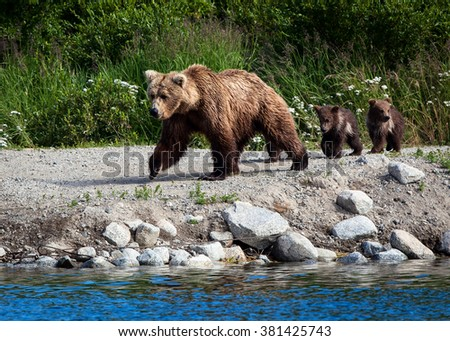 Spring cubs follow their mother along the shore of Brooks River, Katmai National Park, Alaska - stock photo