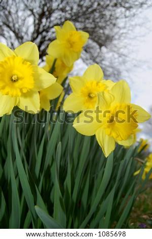 Spring daffodils - stock photo