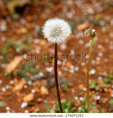 Spring Dandelion wild flower blow balls. Close up detail of the delicate, light seeds against brown soil and cherry blossom background - stock photo