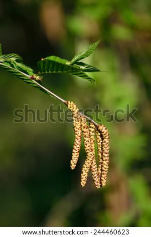 Spring. Earrings cherry Birch (Betula lenta) - stock photo