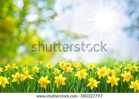 Spring Easter background with beautiful yellow daffodils - stock photo